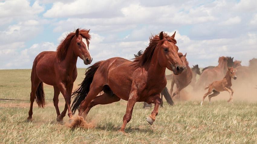 Evcil Atların Beşiği Kuzey Kafkasya